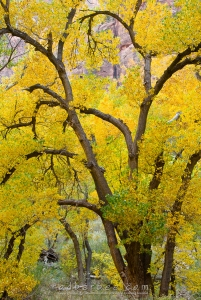 Freemont Cottonwood, fall color in Zion Canyon near Weeping Rock