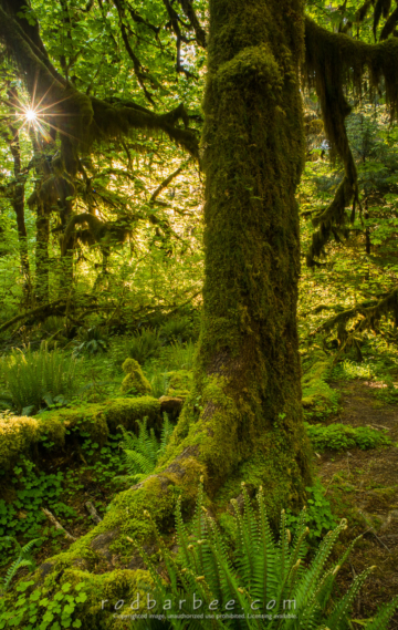 Morning in the Hoh Rainforest